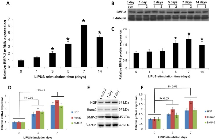 LIPUS stimulation enhanced the BMP-2 signaling pathway gene expression in vitro and in vivo . (A). hPDL cells were cultured in the presence and absence of daily LIPUS stimulation. BMP-2 mRNA expression was determined using qRT-PCR. (B). BMP-2 protein (ROW 1; 45 kDa) can be detected in the control and LIPUS groups (1: CON; 2: LIPUS). The LIPUS groups showed higher expression of BMP-2 from day 5. (C). Quantification of BMP-2 protein expression in the LIPUS stimulation group was greater than that in the control group on days 5, 7, and 14. *indicates P