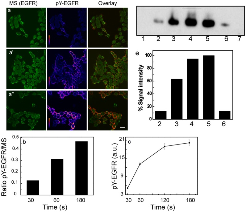 Effect of magnetization time on the level of EGFR phosphorylation. (a, a′, a′′) The time axis shown vertically. Confocal images of MS 488Alexa biocytin signal (green, left panels) and of anti-pY-EGFR 1068 and GARIG-Cy5 (rainbow intensity scale, middle panels) on A431 cells as a function of the applied magnetic field for time intervals of 30, 60 and 180 s. Overlay images are depicted with green/red LUTs, Alexa488-biocytin/GARIG-Cy5 respectively (right panels). Scale bar, 10 µm. (b) Fluorescence intensity ratio of pY-EGFR to MS signals as a function of magnetization. (c) Mean pixel intensity of the pY-EGFR signal from 5 images for each time point as a function of MS magnetization time. (e) Western blot analysis of A431 cell extracts for pY-EGFR 1148. Lane 1, sample obtained from A431 cells incubated with MS in the absence of a magnetic field. Lanes 2–4, pY-EGFR signals for 30, 60 or 180 s of MS magnetization. Lane 5 and 6, pY-EGFR signals after treatment with 30 nM (saturating) or 100 pM EGF. Lane 7, extract of untreated cells. (e) Signal intensities of the positive pY-EGFR lanes in (d) relative to the lane from 30 nM EGF treated cells.