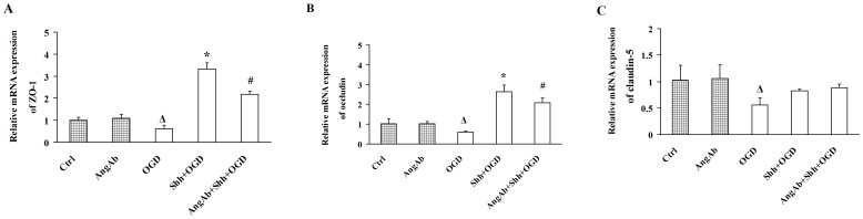 Treatment with Ang-1-neutralizing Antibody Suppresses Shh-up-regulated ZO-1 and Occludin in BMECs under OGD. BMECs were pre-treated with Ang-1-neutralizing antibody (AngAb), and/or PBS, Shh for 30 min, and then subjected to the OGD for 4 h. (A-C) The mRNA levels of ZO-1 (A), occludin (B) and claudin-5 (C) were determined by real-time RT-PCR. Ctrl: cells were pre-treated with PBS and then subjected to normal oxygen condition. AngAb: cells were pre-treated with AngAb and then subjected to normal oxygen condition. OGD: cells were pre-treated with PBS and then subjected to OGD. Shh+OGD: cells were pre-treated with Shh and then subjected to OGD. AngAb+Shh+OGD: cells were pre-treated with Shh plus AngAb and then subjected to OGD. Δ P