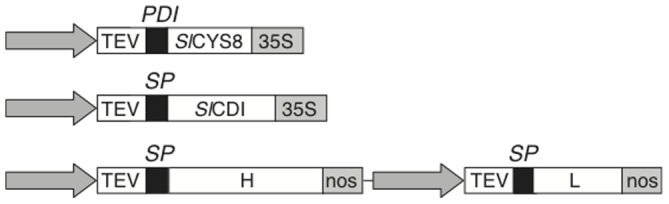Binary vectors for C5-1, Sl CYS8 and Sl CDI expression. The constructs were devised for targeting the proteins to the apoplast. Each construct included a duplicated version of the CaMV 35S constitutive promoter (arrow), the TEV enhancer sequence (TEV), the respective protein-coding sequences ( Sl CYS8, Sl CDI, H and L for C5-1 heavy and light chains) and a CaMV 35S terminator (35S) or nopaline synthase terminator (nos) sequence. Constructs for Sl CYS8 secretion included the coding sequence of alfalfa protein disulphide isomerase signal peptide (PDI). Constructs for C5-1 and Sl CDI included the native signal peptide (SP) of these proteins.