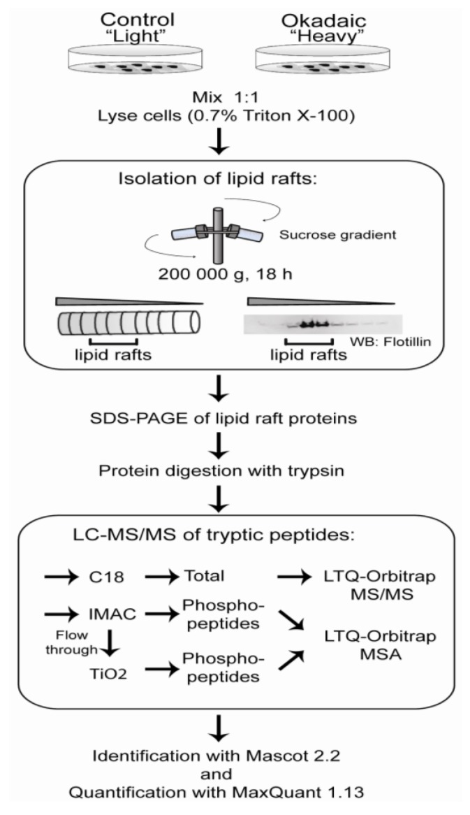 Workflow to identify lipid raft-associated proteins. Stable isotopic labeling of amino acids in cell culture (SILAC) labeled SH-SY5Y cells left untreated or exposed to 400 nM okadaic acid for 50 min before mixed in a ratio 1:1 in 0.7% Triton X-100/MES buffer. After centrifugation in a sucrose gradient, 10 fractions of 0.5 mL were collected. The lipid raft fractions were identified by Western blotting using flotillin as a lipid raft marker. Fractions containing flotillin were pooled prior to removal of lipids by chloroform/methanol extraction, followed by acetone precipitation. Proteins were separated by SDS-PAGE. Proteins were in-gel digested with trypsin, and peptides were purified either with (1) C18 or (2) IMAC/TiO 2 and analyzed on <t>LTQ-Orbitrap.</t> Proteins were identified with Mascot (ver. 2.2) and quantified using MaxQuant (ver. 1.13).