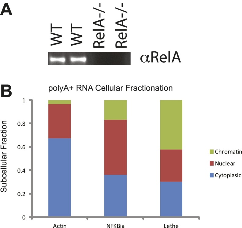 ( A ) Western analysis of RelA protein levels. ( B ) PolyA+ Lethe is found on the chromatin. Immunoblot of wildtype and RelA−/− MEFs. Cellular fractionation was performed, total RNA was purified and polyA+ selection was performed. The fraction polyA+ RNA found in the chromatin, nucleus and cytoplasm is shown. MEFs were treated with 20 ng/ml TNFα for 6 hr. Quantitative Taqman real time RT-PCR of the indicated RNAs is shown (mean ± SD is shown). DOI: http://dx.doi.org/10.7554/eLife.00762.006