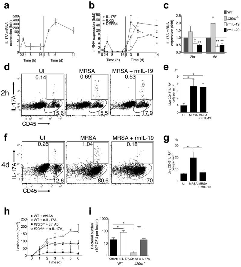 IL-20R signaling suppresses <t>IL-17A</t> response to S. aureus infection ( a-b ) mRNA expression in infected skin compared to uninfected control at indicated time points after MRSA infection. ( c ) IL-17A mRNA expression compared to uninfected control two hours and six days after infection in wild type (WT), Il20rb −/− , or recombinant cytokine-treated wild type mice. ( d-g ) IL-17A and CD45 staining of live cells from ear skin of wild type mice two hours after injection ( d-e ) or flank skin of wild type mice four days after injection ( f-g ) with PBS (uninfected, UI), MRSA, or MRSA + rmIL-19. Representative plots ( d, f ) and absolute cell numbers from replicate mice ( e, g ) are shown. ( h-i ) Lesion size and bacterial CFU (six days after infection) in wild type (WT) or Il20rb −/− mice injected with control or IL-17A-neutralizing antibody (α-IL-17A) at the time of MRSA inoculation. Data shown are representative of 2-4 independent experiments, each using 3-5 mice per group, and displayed as mean + s.e.m. or representative flow cytometry plots.