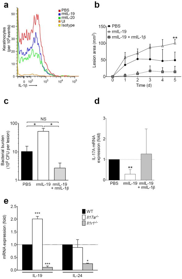 Recombinant IL-1β rescues IL-20R cytokine-induced susceptibility to S. aureus ( a ) IL-1β expression in live CD104 + keratinocytes detected by flow cytometry of single cell suspensions from infected skin tissue three days after MRSA infection with or without (PBS) recombinant murine cytokine (rmIL-19, rmIL-20) treatment. Staining of uninfected skin (UI) and staining with isotype control antibody also shown. ( b-d ) Wild type mice were inoculated with MRSA in PBS, rmIL-19, or rmIL-19 + rmIL-1β and assessed for lesion size ( b ), bacterial burden ( c ), and IL-17A mRNA ( d ). ( e ) IL-19 and IL-24 mRNA expression in Il17a −/− and Il1r1 −/− mice, normalized to wild type (WT) mice, six days after infection with MRSA. Data shown are representative of 2-3 independent experiments, using at least 3-5 mice per group each time, and displayed as mean + s.e.m.