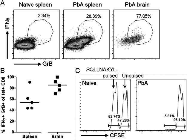 SQLLNAKYL-specific CD8 + T cells are functional and cytotoxic in vivo A,B. Combined tetramer and intracellular cytokine staining were performed on splenocytes and brain-sequestered leukocytes from PbA-infected mice 7 days p.i. Cells were incubated with <t>Brefeldin</t> A for 2 h without restimulation. (A) Representative IFN-γ and GrB profiles of live CD8 + T cells (CD8a + CD16/32 − ). (B) The indicated IFN-γ + GrB + gate was used to analyze tetramer-labelled CD8 + T cells. Bars represent medians. C. Equal numbers of CFSE hi unpulsed naïve splenocytes and CFSE lo SQLLNAKYL-pulsed splenocytes were transferred into naïve or PbA-infected mice 6 days p.i. The mice were sacrificed 20 h later to analyze the CFSE-labelled cells in the spleens. The infected mouse is representative of n = 4, all with 96–97% specific lysis.