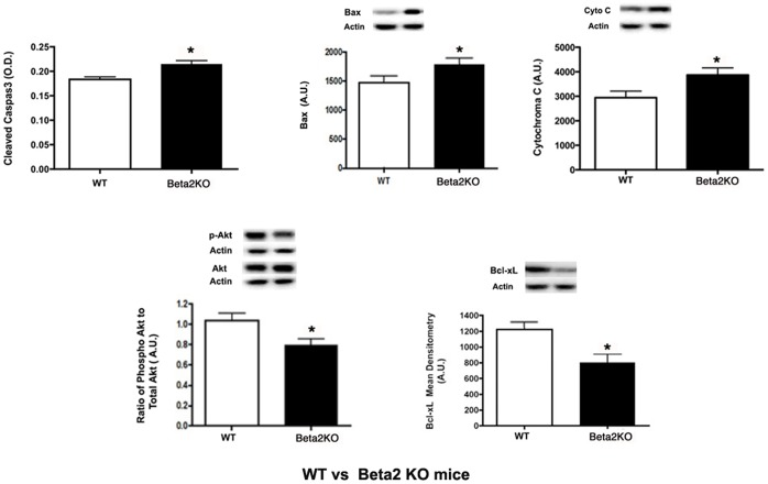 Apoptotic protein levels. Cleaved caspase 3 ELISA and Western blot results for wildtype mice and β2-adrenergic receptor KO mice for pro-apoptotic proteins (top panel-cleaved caspase 3, Bax, Cytochrome C) and anti-apoptotic proteins (bottom panel-phosphorylated Akt, Bcl-xL). A representative Western blot is provided. All Western blot data were normalized to beta actin levels. ELISA data was normalized to protein loaded into well. *P