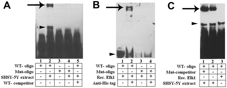 Confirmation of Elk1 binding to the corresponding site on the KATNB1 promoter by EMSA. ( A ) Extract free biotin-11-UTP labeled Elk1 oligonucleotides (WT, wild type; Mut, mutated) were illustrated in lanes 1 and 3, respectively. SH-SY5Y cell extract was added to the reaction mixture and incubated with WT and Mut oligonucleotides to form nucleotide-protein complex (lane 2 and lane 4, respectively). 1000-fold excess of unlabeled WT competitor Elk1 oligonucleotide was added to the binding reaction mixture (lane 5). Arrow shows band of SH-SY5Y cell extract-WT oligonucleotide complex (lane 2). Lane 1 and 3 represent only WT and Mut oligonucleotides, respectively that were loaded as controls. ( B ) Super-shift assay confirmed the specificity of Elk1 binding on the KATNB1 promoter. WT Elk1 oligonucleotide was incubated with recombinant Elk1- db protein either alone (lane 1) or in the presence of His-tag antibody (lane 2). Mut Elk1 oligonucleotides were also incubated with recombinant Elk1- db protein either alone (lane 3) or in the presence of His-tag antibody (lane 4). Arrowhead shows band of Elk1- db-WT oligonucleotide complex and the arrow shows the band of Elk1- db-WT oligonucleotide-His-tag antibody complex. ( C ) SH-SY5Y cell extract was added to the reaction mixture and incubated with WT oligonucleotides in the presence or absence of 1000 fold excess of unlabeled Mut competitor oligonucleotides to form nucleotide-protein complex (lane 1 and lane 2, respectively). Lane 3 shows Elk1- db-WT oligonucleotide complex. Arrows show bands of SH-SY5Y cell extract-WT oligonucleotide complexes and arrowheads indicate 95 amino acids splice variant of Elk1.