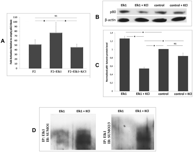 KCl treatment increases Elk1 SUMOylation and decreases katanin-p60 expression. ( A ) The effect of KCl treatment on Elk1 mediated regulation of KATNB1 promoter. SH-SY5Y cells were co-transfected with F2 construct and either pCMV-empty vector (F2), or pCMV6-Elk1 (F2+Elk1). 24 h post-transfection, group of the Elk1 transfected cells were incubated in medium containing 50 µM KCl for 1 h (F2+Elk1+KCl). After 48 h following transfection, luminometric analysis was performed and fold activities were calculated relative to empty pGL3-basic vector. ( B ) Western blot analysis of katanin-p80 in SH-SY5Y cells. We performed analysis with both pCMV6-Elk1 transfected cells which were either untreated (Elk1) or treated with KCl (Elk1+KCl) and naive cells which were either untreated (control) or treated with KCl (control+KCl). Error bars represent ± SD. Asterisk symbol (*) indicates p-value