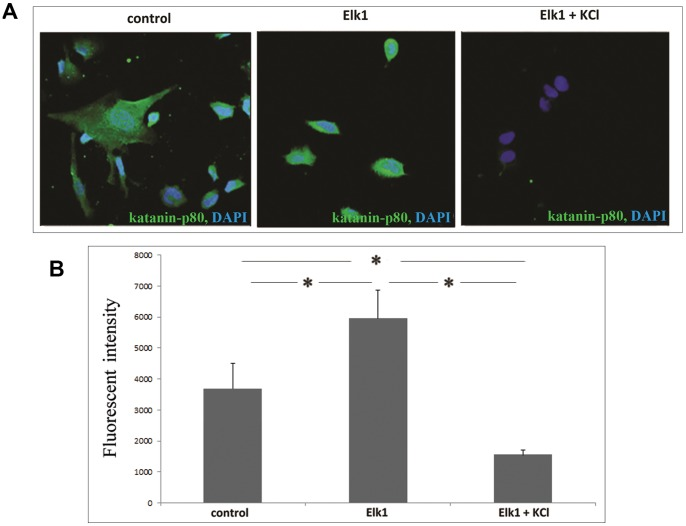 KCl stimulated Elk1 SUMOylation reduces endogenous katanin-p60 protein level in SH-SY5Y cells. ( A ) Immunocytochemistry staining of endogenous katanin-p 80 to reveal the effect of KCl treatment on the Elk1 mediated expression of KATNB1 gene in SH-SY5Y cells. Control represents naive SH-SY5Y cells that were neither transfected nor KCl treated; Elk1 represents SH-SY5Y cells that were pCMV6-Elk1 transfected and finally Elk1+KCl represents SH-SY5Y cells that were both pCMV6-Elk1 transfected and KCl treated. Green indicates katanin-p80 staining, while blue is for nuclear DAPI staining. ( B ) Integrated pixel analysis for katanin-p80 expression in panel A.