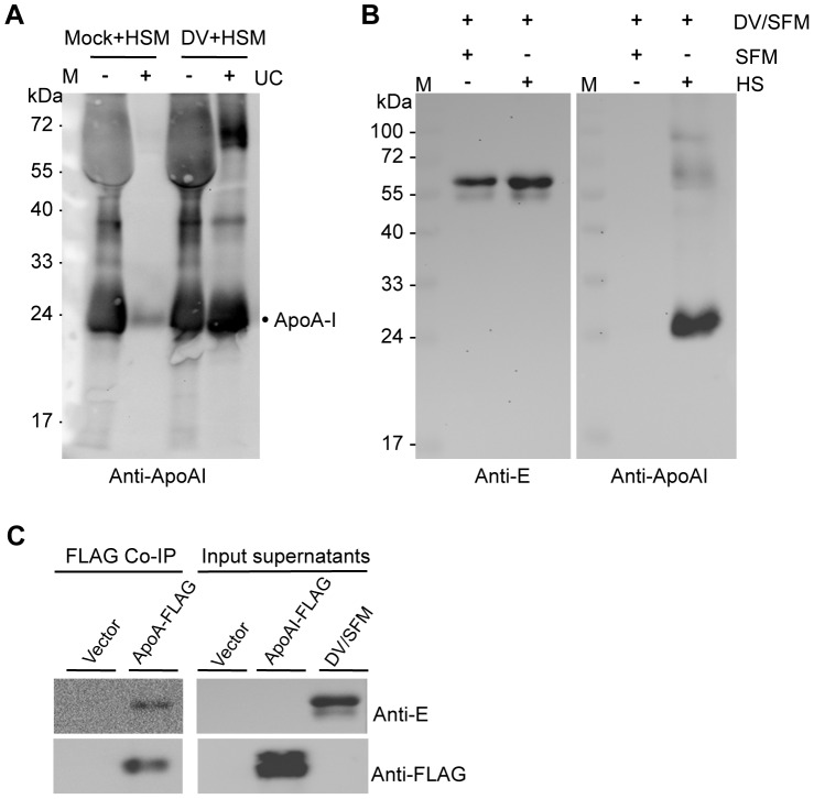 Co-precipitation of DV with ApoA-I. (A) Vero cells were infected with DV at a MOI of 1 and culture medium were changed to DMEM with 10% human serum HS (HSM) at 2 dpi. The mock-infected cells by DMEM was used as a control and also subjected to the same medium change. Culture supernatants were harvested at 7 dpi and purified by sucrose cushion ultracentrifugation (UC). The virus pellets were resuspended in serum-free DMEM. Presence of ApoA-I was analyzed by Western blotting using anti-ApoA-I antibody. (B) Human serum was added into DV/SFM to a final concentration of 10% and the mixture was incubated at 4° for 1 hour, followed by sucrose cushion ultracentrifugation. The pellets were analyzed by Western blotting using anti-ApoA-I and anti-E antibodies respectively. (C) Co-immunoprecipitation of ApoA-I with DV. AD-293 cells were transfected with a plasmid expressing FLAG-tagged ApoA-I (pApoAI-FLAG) and cultured in serum-free DMEM. At 3 dpt, secreted ApoA-I in the culture supernatant was purified with anti-FLAG M2 Affinity Gel. The resulting ApoAI-FLAG/M2 beads were washed twice with 1×TBS and incubated with DV/SFM at 4°C for over night. The co-immunoprecipitates were eluted and detected by Western blotting with anti-E and anti-FLAG antibodies. As a control, co-immunoprecipitation was also performed using the supernatant from cells transfected with empty vector p3×FLAG-CMV-14 (pFLAG). M, pre-stained protein marker.