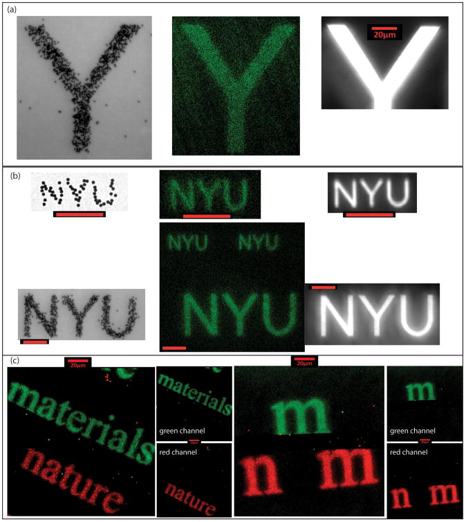 DNA photo-lithographic pattern on surface (a) and (b): right: exposed patterns with different feature sizes (∼14μm in (a) and 4μm and 1.5μm in (b)); left: colloid patterns (inverted so unstuck particles have escaped); middle: Green fluorescently labeled conjugate images. (c) Multi-functionalized patterns of 'nature materials' (abbreviated as 'n m') in New Times Roman font. Left: Green fluorescently labeled DNA hybridizes to LS patterned in the region 'materials,' and red streptavidin binds to LS2 patterned biotin in the region 'nature'. Right: similar patterning of larger 'n' and 'm' letters. Separate confocal filtering channels are shown as smaller figures.