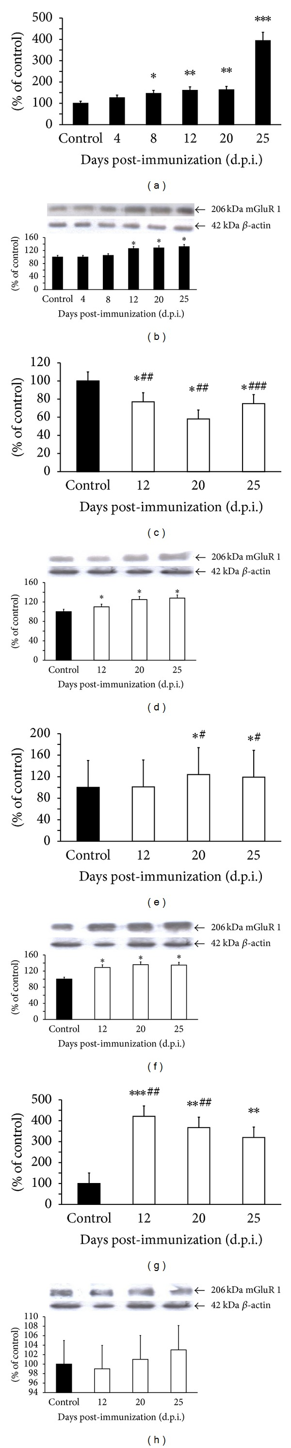 Expression of mGluR1 mRNA (a, c, e, and g) and protein (b, d, f, and h) in forebrain of control and EAE rats at different times post-immunization (a and b) and after therapeutic treatment with antagonists of glutamate receptors: amantadine (c and d), memantine (e and f), and LY 367385 (g and h). Total RNA was prepared from healthy control rats, rats with EAE, and rats with EAE after therapy at the indicated d.p.i. The mGluR1 mRNA levels were determined by quantitative real-time PCR (see Section 2 ) and normalized against actin. Graphs (a), (c), (e), and (g) present the results expressed as percentage of control from four independent experiments. * P