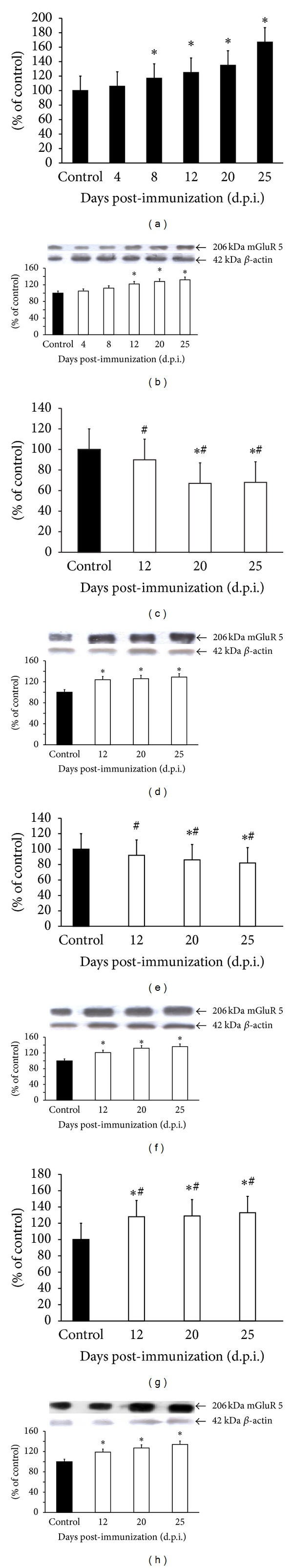Expression of mGluR5 mRNA (a, c, e, and g) and protein (b, d, f, and h) in forebrain of control rats and rats with EAE at different times post-immunization (a and b) and after therapeutic treatment with antagonists of glutamate receptors: amantadine (c and d), memantine (e and f), and MPEP (g and h). Total RNA was prepared from healthy control rats, rats with EAE, and rats with EAE after therapy at the indicated d.p.i. The mGluR5 mRNA levels were determined by quantitative real-time PCR (see Section 2 ) and normalized to actin. Graphs (a), (c), (e), and (g) present the results expressed as percentage of control from four independent experiments. * P
