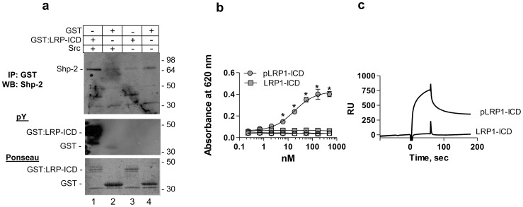 Phosphorylated LRP1-ICD interacts with SHP-2 with high affinity. (a) Cell lysates from NRK fibroblasts were incubated with phosphorylated GST:LRP1-ICD ( lane 1 ), unphosphorylated GST:LRP1-ICD ( lane 3 ), GST and src ( lane 2 ) or GST alone ( lane 4 ) all bound to Glutathione-Sepharose. Following incubation and washing, eluted proteins were separated by SDS-PAGE and analyzed by immunoblot analysis for SHP-2 ( upper panel ), for tyrosine phosphorylation ( middle panel ) and for total protein by Ponseau stain ( lower panel ). (b) Increasing concentrations of phosphorylated (circles) or unphosporylated (squares) GST:LRP1-ICD were incubated with microtiter wells coated with SHP-2 (closed symbols) or BSA (open symbols). Bound GST:LRP1-ICD was detected with anti-GST antibodies. Curve shows the best fit to a single class of sites using non-linear regression analysis. *, absorbance values for pLRP1-ICD are significantly different from those of LRP1-ICD (p