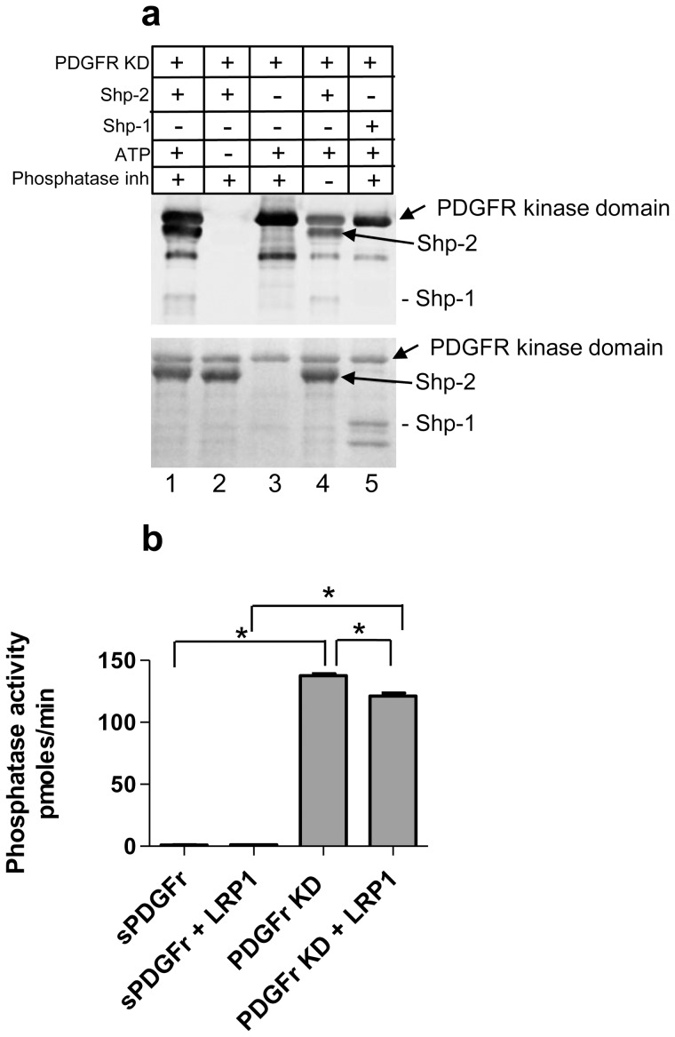 PDGFRβ kinase domain directly mediates the phosphorylation of SHP-2. (a) Purified PDGFRβ KD was incubated with recombinant human SHP-2 in the presence or absence of ATP and phosphatase inhibitors. Proteins were separated by SDS-PAGE and analyzed by immunoblot analysis for phosphotyrosine ( upper panel ). Total proteins are shown in the lower panel. As a control, SHP-1, a structurally similar phosphatase to SHP-2, was also included (lane 5). (b) The catalytic activity of SHP-2 was assessed using a malachite green phosphatase assay kit using Src pY529 (TSTEPQ-pY-QPGENL) as the substrate. Recombinant SHP-2 was incubated with pPDGFR KD or sPDGFRr, GST:LRP1-ICD, in the presence ATP and MgCl 2 . Liberated phosphate complexed with malachite green was measured at 620 nm (*p
