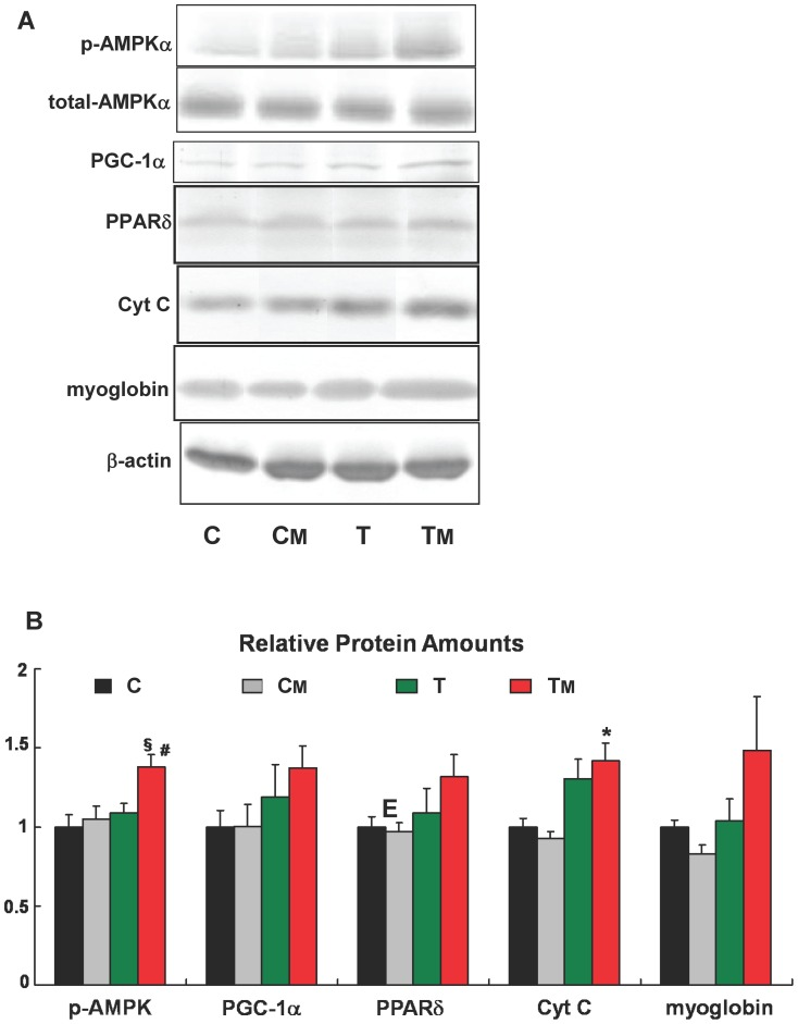 MAF intake increases exercise training-induced factors involved in fast-to-slow transition. AMPKα phosphorylation and expression levels of PGC-1α, PPARδ, cytochrome c, and myoglobin in each group were measured by Western blotting. Representative blots ( A ) and quantification ( B ) are shown for each protein. p-AMPK was determined as p-AMPKα/total AMPKα ratio. Other proteins are normalized to β-actin. *, and §, statistically significant difference between the C and T M groups. #, statistically significant difference between the T and TM groups (* and #: p