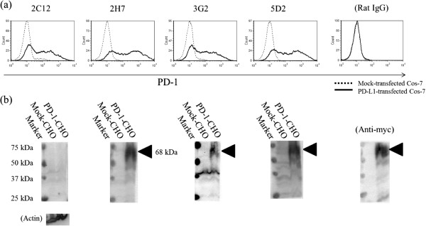 Recognition of PD-1-expressing cells by anti-PD-1 mAb. (a) Flow cytometric analysis of surface expression of bovine PD-1. Cos-7 expressing PD-1 (black line) and Cos-7 transfected with the control vector (dashed line) were stained with four types of anti-PD-1 mAb (2C12, 2H7, 3G2, and 5D2) and isotype control (Rat IgG). (b) Western blotting analysis of bovine PD-1 expression in CHO-DG44 cells stably expressing bovine PD-1. Three types of anti-PD-1 mAb recognized PD-1 (triangle) at about 68 kDa. Anti-actin antibody and anti-myc antibody was used as a loading control and a positive control.