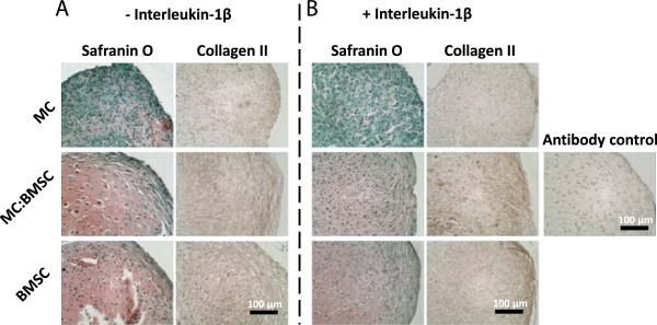 Histological characteristics of pellets formulated from mono-cultured MCs, mono-cultured BMSCs and co-cultures of MC and BMSCs after a total of 17 days culture in defined serum-free chondrogenic media. (A-B) Safranin O and collagen II immuno-histochemical staining of representative pellets from cells derived from the same donor. Magnification lens × 20; scale bar is 100 μm.