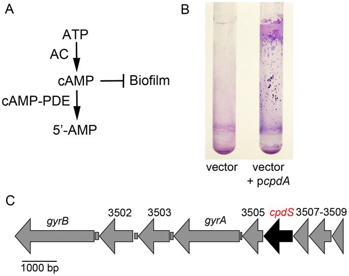 Role of cAMP-phosphodiesterase activity in biofilm formation and identification of a cAMP-phosphodiesterase gene in the S. marcescens genome. A. Model for cAMP metabolism and inhibitory effect on biofilm production. Adenylate cyclase (AC) catalyzes synthesis of cAMP from ATP, whereas cyclic-AMP phosphodiesterase (cAMP-PDE) catalyzes hydrolysis of cAMP to 5′-AMP. B. Crystal violet stained biofilms on the side of test tubes formed under high-sheer conditions. Shown is a wild-type S. marcescens strain with either the empty vector or the vector with a wild-type copy of the E. coli cAMP-PDE gene, cpdA . C. Genomic context of the S. marcescens cpdS gene, a candidate cAMP-PDE gene.
