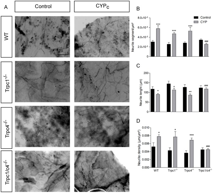 CYP-induced peripheral sprouting is abolished in Trpc1/c4 −/− mice. A, PGP9.5 staining in whole mount bladder mucosa in control and CYP-treated wild type, TRPC1, TRPC4 and TRPC1/C4 deficient mice - scale bar : 50 µm. B–D, Quantitative analysis of neurite segments ( B ), neurite length ( C ) and neurite density ( D ) shows a normal innervation in treated Trpc1/c4 −/− mice.