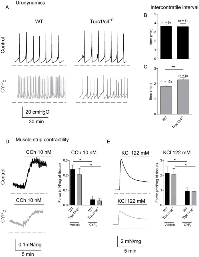 CYP-induced bladder overactivity is decreased in Trpc1/c4 −/− mice. A, Typical urodynamic traces of WT and Trpc1/c4 −/− mice in vehicle or following CYP treatment. B,C, Analysis of intercontractile interval in vehicle ( B ) and CYP-treatment mice ( C ) in WT and Trpc1/c4 −/− mice shows that double knock-out mice are functionally less affected by CYP treatment. D, Typical muscle strip contractility traces of WT mice in control and in CYP c rats activated by 10 nM of carbachol. The statistical analysis of carbachol-induced contraction of muscle strips did not show difference between the two genotypes in CYP c mice. E, Typical traces of muscle strip contractility of WT mice stimulated with high KCl concentration (122 mM). There is no difference between WT and Trpc1/c4 −/− in control and CYP c conditions.