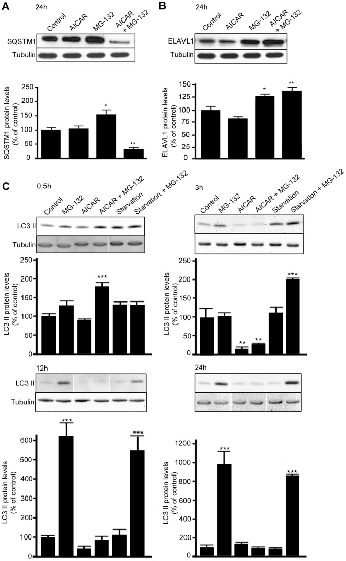 MG-132-induced increase of SQSTM1/p62 but not ELAVL1/HuR protein levels is counteracted by AICAR treatment. Representative western blotting (upper) and densitometric analysis (lower) of SQSTM1/p62 (A), ELAVL1/HuR (B) and MAP1LC3A/LC3-II (C) proteins in the total homogenates of ARPE-19 cells after starvation or/and exposure to AICAR (2 mM) or/and MG-132 (5 µM) for 0,5 h, 3 h, 12 h and 24 h. α-tubulin was used as a loading control. Control cells were exposed only to solvent (DMSO). Results are expressed as means ± S.E.M. The data were analyzed by ANOVA, followed by Dunnett's Multiple Comparison Test; *p