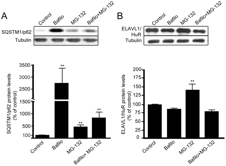 SQSTM1/p62 protein, but not ELAVL1/HuR protein, is degraded by autophagy in ARPE-19 cells. Representative western blotting and densitometric analysis of SQSTM1/p62 (A) and ELAVL1/HuR (B) proteins in the total homogenates of ARPE-19 cells after exposure to bafilomycin (50 nM) or/and MG-132 (5 µM) for 24 h. α-tubulin was used as a loading control. Results are expressed as means ± S.D. The data were analyzed by ANOVA, followed by Mann-Whitney; **p