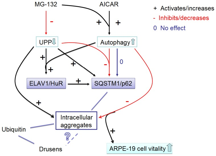 Summary of the results. The proteasome inhibitor MG-132 down-regulates (−) the ubiquitin-proteasome pathway (UPP). AMPK-activator AICAR and proteasome inhibitor MG-132 co-treatment activates (+) the autophagy. UPP inhibition significantly increases (+) SQSTM1/p62 protein levels, while autophagy induction during UPP inhibition robustly decreases (−) SQSTM1/p62 protein levels. Since SQSTM1/p62 localizes to aggregates, the decreasing of SQSTM1/p62 reveals its autophagy clearance. In addition, proteasome inhibition significantly increases ELAVL1/HuR protein levels by itself and during the autophagy induction (+). Proteasome inhibition induces a positive regulation of SQSTM1/p62 expression that occurs also at post-transcriptional level via ELAVL1/HuR protein (+). Activated autophagy is able to completely abolish the MG-132-induced protein aggregation (−), which, in turn improves the cell vitality. Ubiquitin is also found in intracellular aggregates in ARPE-19 cells as well as from drusens. In contrast, SQSTM1/p62 is found only in the intracellular aggregates in ARPE-19 cells, but not in drusens. However, SQSTM1/p62 levels were high in macular area of RPE cells revealing impaired autophagy. What is the relation between drusen and intracellular aggregates remains still unknown. Red lines with minus symbol represent inhibiting and decreasing events in ARPE-19 cells. Black lines and plus symbol represent activating and increasing events in the ARPE-19 cell. Zero (0) and dark blue line indicate neutral effects in the ARPE-19 cell. UPP: ubiquitin-proteasome pathway.