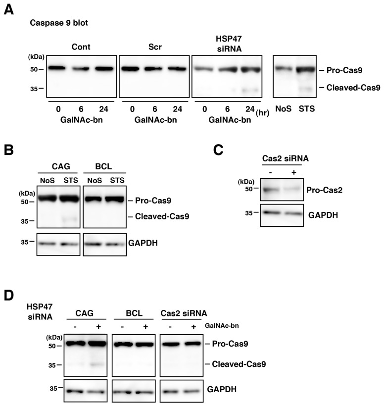 HSP47 expression affected mitochondria caspase-9 cleavage. (A) NIH3T3 cells treated with GalNAc-bn for the indicated periods were examined by western blot analysis using an antibody against caspase-9. NIH3T3 cells treated with <t>staurosporine</t> <t>(STS)</t> were used as a positive control for caspase-9 cleavage induction. Cont, untransfected cells; Scr, scrambled siRNA-transfected cells; siRNA, HSP47 siRNA-transfected cells; NoS, no stimulated cells. (B) CAG and BCL cells treated with STS for 12 h were examined by western blot analysis using an antibody against caspase-9. (C) Western blot analysis showed caspase-2 and GAPDH protein expression 2 d after transfection with caspase-2 siRNA. (D) CAG, BCL, and caspase-2 siRNA transfected NIH3T3 (Cas2 siRNA) cells treated with GalNAc-bn for 24 h were examined by western blot analysis using an antibody against caspase-9 after HSP47 siRNA transfection.