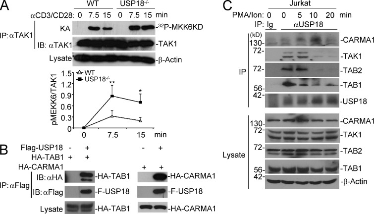 USP18 interacts with the TAK1–TAB complex. (A) TAK1 was isolated by immunoprecipitation from cells stimulated with anti-CD3/CD28 for the indicated time points, followed by kinase assay using recombinant MKK6 as a substrate. The intensities of the indicated proteins were quantified and the ratio of pMEKK6/TAK1 was calculated. (B) 293T cells were transfected with the indicated plasmids. 24 h later, cells were lysed and immunoprecipitation was performed with anti-Flag. The immunoprecipitants were analyzed by immunoblot with the indicated antibodies. The expression levels of TAK1 in the lysates were analyzed by immunoblot with anti-HA. (C) Jurkat T cells were stimulated with PMA and ionomycin for the indicated time points, followed by immunoprecipitation by control IgG (Ig) or anti-USP18 (αUSP18). The immunoprecipitants were analyzed by immunoblot with antibodies against the indicated proteins. The expression levels of CARMA1, TAK1, TAB1, TAB2, and Actin were analyzed by immunoblot with antibodies against the indicated proteins. Data shown are representatives of three (A and B) and two (C) independent experiments. Graphs show mean ± SD, n = 3. *, P