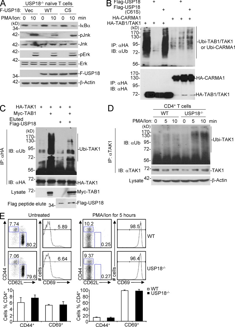 USP18 catalyzes deubiquitination of TAK1. (A) Naive CD4 + T cells from USP18KO were sorted and transfected with empty vector (Vec), Flag-tagged USP18 (WT), or USP18(C61S) (CS). The transfected cells were sorted and stimulated with PMA and ionomycin (PMA/ion) for 10 min, followed by immunoblot analysis with antibodies against the indicated proteins. (B) 293T cells were transfected with USP18 together with HA-tagged TAK1 and TAB1, or CARMA1. TAK1 complex and CARMA1 were isolated by immunoprecipitation with anti-HA, followed by immunoblot analysis with anti-ubiquitin (αUb). The expression levels of TAK1, TAB1, and CARMA1 in lysates were analyzed by immunoblot with anti-HA. (C) 293T cells were transfected with HA-TAK1 with or without Myc-TAB1. The HA–TAK1 complex was immunoprecipitated with anti-HA. Flag-USP18 was purified by immunoprecipitation with anti-Flag agarose followed by elution with Flag peptide from 293T cells transfected with Flag-USP18. The immunoprecipitants were incubated with or with out Flag-USP18 protein followed by immunoblot with anti-HA or anti-ubiquitin (αUb). (D) WT and USP18KO (KO) CD4 + T cells were stimulated with PMA/ion for the indicated time points. The cells were lysed and cell lysates were immunoprecipitated with anti-TAK1. The immunoprecipitants were analyzed with anti-ubiquitin or anti-TAK1. The expression levels of β-actin were analyzed by immunoblot. (E) Splenocytes from WT and USP18KO (KO) mice left untreated or stimulated with PMA and ionomycin for 5 h were stained with fluorescence-labeled anti-CD4, CD44, CD69, and CD62L, followed by flow cytometry analysis. The flow blots show one representative of WT and KO mice, respectively. Graphs show mean ± SD, n = 4. Data shown are representatives of three (A–C) and two (D and E) independent experiments.