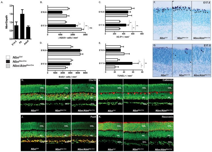 Nbn-deficiency leads to Atm-dependent apoptotic cell death in developing retina, but cell fate specification and differentiation are normal in the Nbn/Atm-deficient retina. ( A ) Relative expression of Nbn mRNA at different stages of mouse retinal development was analyzed by real time RT-PCR using SYBR green. No significant difference in the levels of Nbn mRNA expression was detected within the stages analyzed. Gene expression was normalized to Gapdh mRNA ( Gapdh ). ( B ) Quantification of γ-H2AX positive cells within retina at E15.5 ( Nbn Ctrl , n = 3; Nbn Nes-Cre , n = 4; and Nbn/Atm Nes-Cre , n = 3) and E17.5 ( Nbn Ctrl , n = 2; Nbn Nes-Cre , n = 3; and Nbn/Atm Nes-Cre , n = 3). ( C ) Quantification of H3-P positive cells per mm 2 of retinal tissue at E15. 5 ( Nbn Ctrl , n = 8; Nbn Nes-Cre , n = 6 and Nbn/Atm Nes-Cre , n = 5) and at E17.5 ( Nbn Ctrl , n = 13; Nbn Nes-Cre , n = 3 and Nbn/Atm Nes-Cre , n = 6). ( D ) Quantification of BrdU positive cells within retina at E15.5 ( Nbn Ctrl , n = 10; Nbn Nes-Cre , n = 6; and Nbn/Atm Nes-Cre , n = 12) and E17.5 ( Nbn Ctrl , n = 8; Nbn Nes-Cre , n = 3; and Nbn/Atm Nes-Cre , n = 2). Error bars indicate SEM (* p