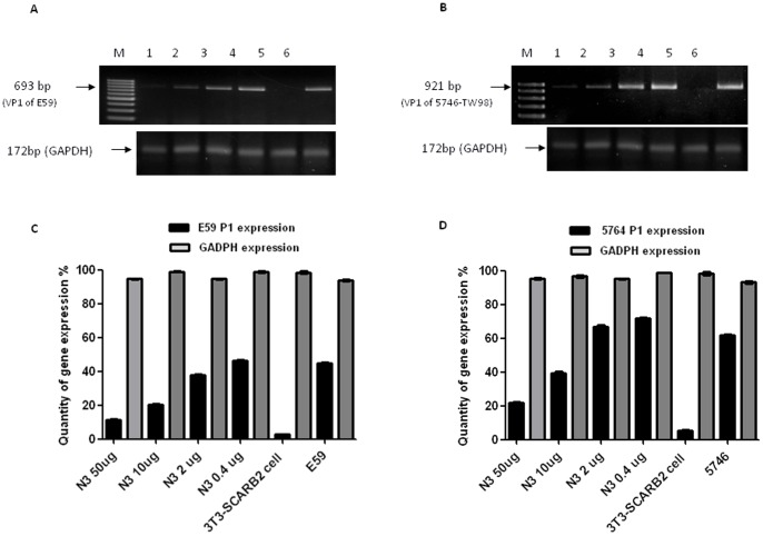 N3-mediated neutralization against B4 genotype of E59 and C2 genotype of 5746 viruses in vitro. ( A ) Both E59 and 5746 were pre-incubated (m.o.i. = 0.5) with various amounts of N3 for 1 h at 37°C before adding them to 3T3-SCARB2 cells. RNA was extracted 2 h after infection, and subjected to RT-PCR to detect the expression of viral genome P1. The amounts of N3 in different lanes were Lane 1∶50 µg, Lane 2∶10 µg, Lane 3∶2 µg, Lane 4∶0.4 µg, Lane 5: uninfected 3T3-SCARB2 cells as the negative control, and Lane 6: E59 viral cDNA as the positive control were included. The same loading scheme was applied to ( B ) where Lane 6 was replaced by 5746 virus for the control. Expression of cytosolic GADPH as the internal control of RT-PCR was detected. ( C ) and ( D ) The bar graph represents the densitometric quantification of the band intensities of viral genome P1 and GADPH from ( A ) and ( B ), respectively. The error bar of each group generated from three independent experiments was included.
