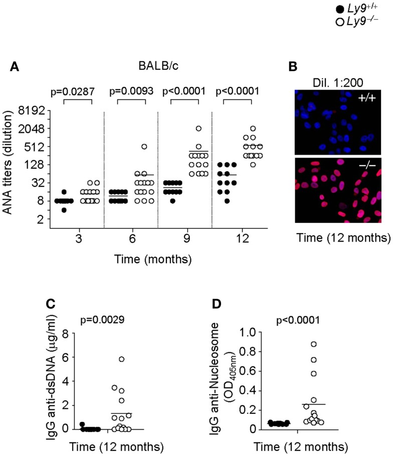 Spontaneous humoral autoimmune response in Ly9 −/− (BALB/c.129) mice . (A) ANA titers in the serum of 3- to 12-month-old Ly9 +/+ (wt) and Ly9 −/− mice. (B) Representative immunofluorescence staining of permeabilized Hep-2 incubated with sera from 1-year-old wt as compared with 1-year-old Ly9 −/− mice (sera dilution 1:200). After washing, IgG was detected with anti-mouse IgG-Texas Red (red). Nucleus was stained with DAPI (blue). (C) Determination by ELISA of autoantibodies against double-stranded DNA (dsDNA) and (D) <t>nucleosome</t> in serum from 12-month-old wt and Ly9 −/− mice. Experiments were initially conducted with a total of n = 11 BALB/c (wt) and n = 15 Ly9 −/− (BALB/c.129) female mice. Small horizontal bars indicate the mean. Statistical significances are shown.