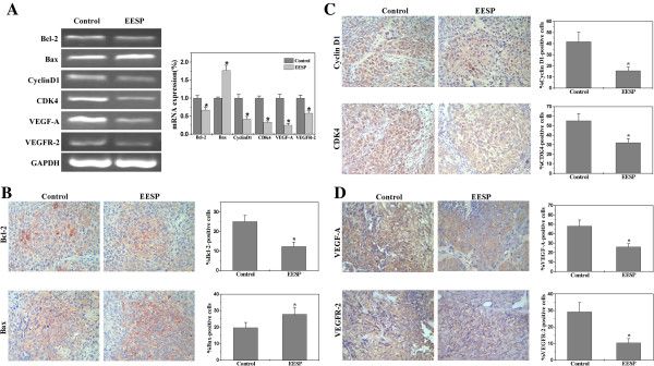 Effect of EESP on the expression of Bcl-2, Bax, Cyclin D1, CDK4, VEGF-A and VEGFR-2 in CRC mice. ( A ) The mRNA levels in tumor tissues from control and EESP-treated group were determined by RT-PCR. GAPDH was used as an internal control. The data of densitometric analysis were normalized to the mean mRNA expression of untreated control (100%). ( B-D ) The protein expression of Bcl-2, Bax, Cyclin D1, CDK4, VEGF-A and VEGFR-2 in tumor tissues was analyzed via immunohistochemical assay. The photographs are representative images taken at a magnification of 400 ×. Quantification of immunohistochemical assay was represented as percentage of positively-stained cells. Data shown are averages with S.D. (error bars) from 9 individual mouse in each group. *P