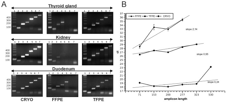 Assay for evaluation of RNA performance in qRT-PCR. qRT-of six amplicons of different length (71, 153, 200, 277, 323, 530 bp amplicon size) the gene GAPDH performed using cDNA derived from FFPE, TFPE and cryopreserved samples of different organs. (A) Gel images of GAPDH amplicons in three different CRYO, FFPE and TFPE tissues. All size fragments can be amplified from CRYO samples, most larger amplicons are missing in FFPE samples, all amplicons are present in TFPE samples but the 530 bp band is weak. (B) Direct comparison of ct values obtained from CRYO, FFPE and TFPE liver tissue. In FFPE samples the 323 and 530 bp bands could not be detected or were unspecific, and ct values of smaller amplicons were shifted by up to 9 cycles. The slope of the regression line through the data points was greater in FFPE (2.14) than in TFPE (0.55) and the cryopreserved (0.34) liver samples. Error bars depict standard deviation of PCR triplicates (too small to be visible in CRYO and TFPE samples).