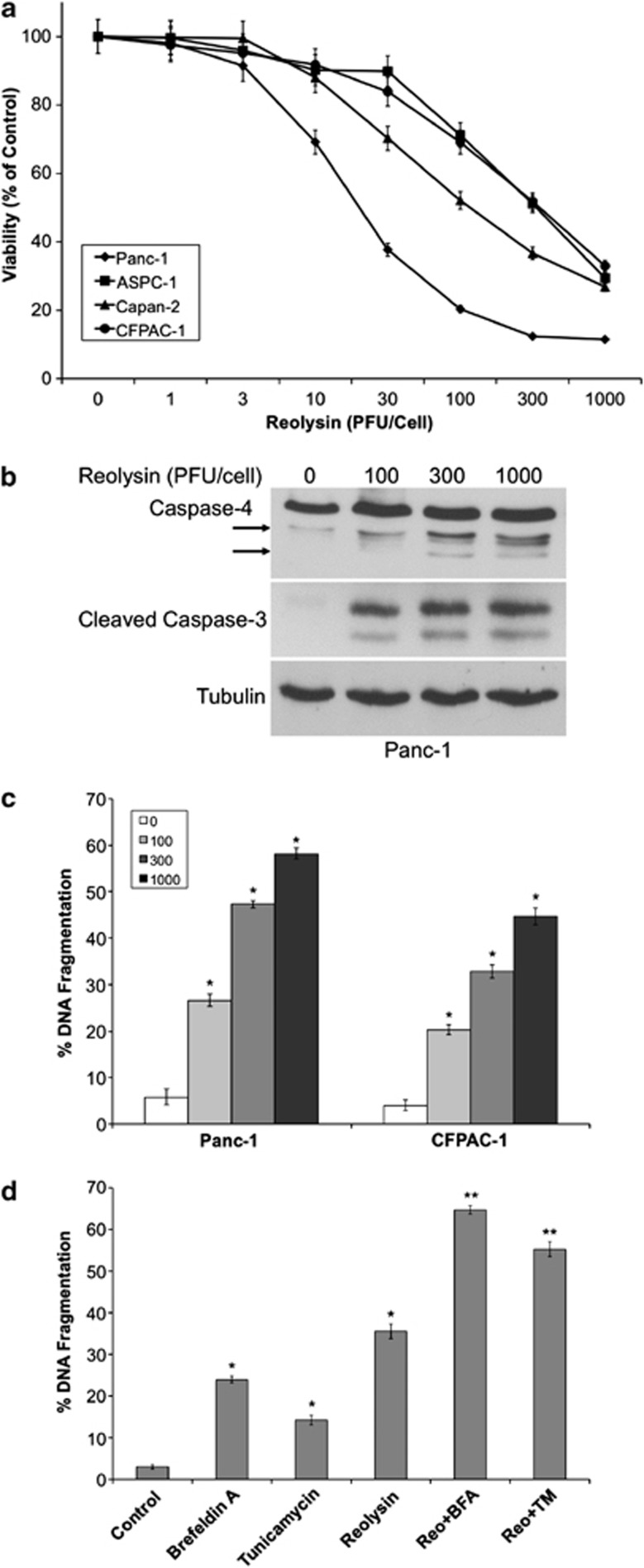 Reolysin promotes caspase-4 processing and apoptosis and sensitizes cells to ER stress-mediated apoptosis. ( a ) Reolysin decreases cell viability in a panel of pancreatic cancer cell lines. Cells were treated with the indicated concentrations of Reolysin for 72h. Cell viability was measured by MTT assay. Mean±S.D.,  n =3. ( b ) Reolysin promotes cleavage of caspase-4 and caspase-3. Panc-1 cells were treated with the indicated concentrations of Reolysin for 48h, and caspase cleavage was measured by immunoblotting. Arrows denote cleaved caspase-4 fragments. ( c ) Reolysin induces apoptosis. Panc-1 and CFPAC-1 cells were treated with Reolysin for 48h. Apoptosis was measured by PI-FACS analysis. Mean±S.D.,  n =3. *Indicates a significant difference compared with controls. ( d ) Reolysin augments ER stress-mediated apoptosis. Panc-1 cells were treated for 48h with 300PFU/cell Reolysin, 5 μ g/ml tunicamycin, 5 μ M brefeldin A, and combinations. Mean±S.D.,  n =3. *Indicates a significant difference compared with controls; **indicates a significant difference compared with either single-agent treatment  P