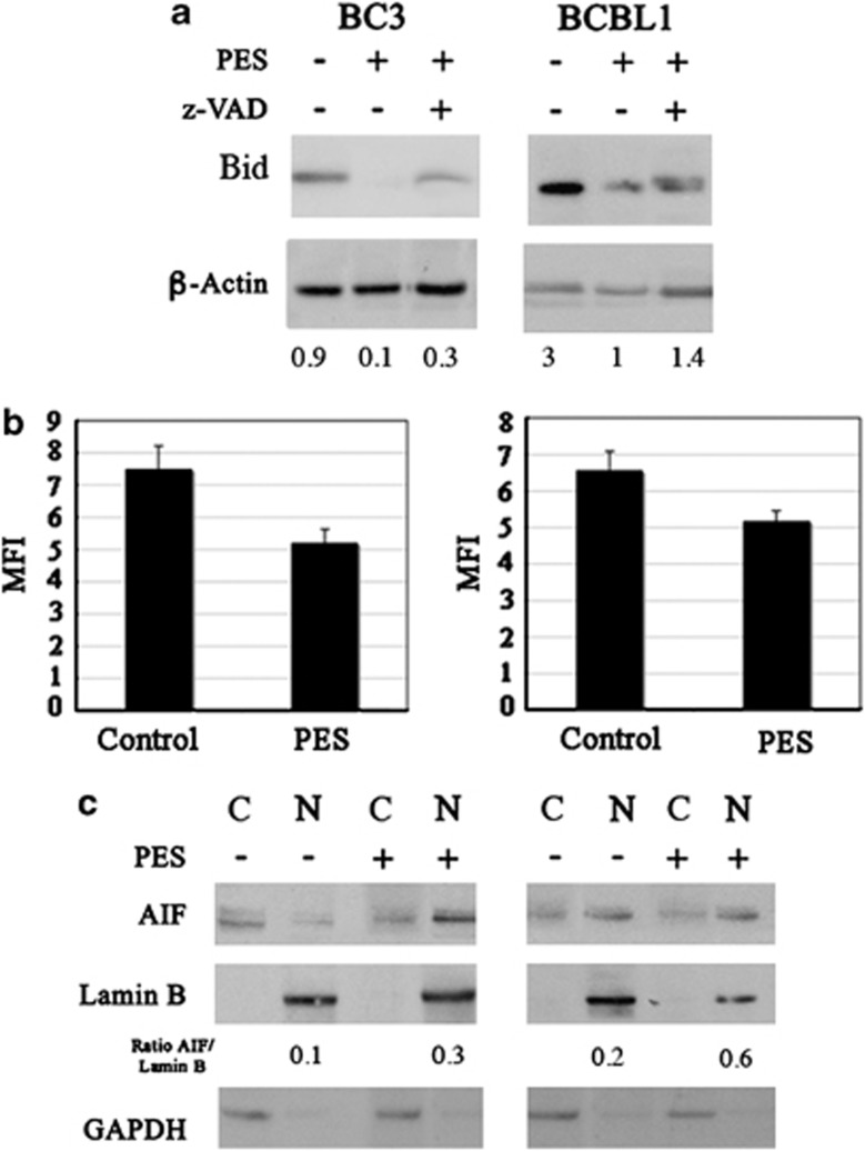 BID processing, mitochondrial depolarization and AIF nuclear traslocation in PES-treated PEL cells. ( a ) BID and LAMP2 expression in BC3 and BCBL1 untreated or treated with PES was analyzed by western blot. <t>β</t> -Actin was used as loading control. ( b ) MOMP assay was performed by using 40 nM TMRE for 15 min at 37 °C on PEL cells untreated or treated with PES and mean±S.D. is reported. ( c ) Western blot analysis for AIF, Lamin B and <t>GAPDH</t> was performed on cytosolic (C) and nuclear (N) fractions of control PEL cells or after treatment with PES. For all these experiments PES was used at 20 μ M for 24 h