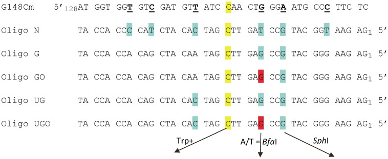 Sequences of TRP5 mutant regions and oligonucleotides used for reversion analysis. The trp5 - G148Cm mutant contains several changes designed to create additional completely degenerate third codon positions, with those of interest underlined; the sequence shown here begins at nt 128. The C at position 148 that must change to G in order to restore a Trp+ phenotype is highlighted in yellow. Oligo N creates 7 mismatches (highlighted in yellow and blue) upon annealing with the G148Cm sequence; oligos are numbered from the 5′ end. Oligo G and UG create a subset of those mismatches as indicated. Oligos GO and UGO are identical to Oligos G and UG except that the base highlighted in red is an 8-oxoG. If A is inserted opposite the 8-oxoG during replication, a novel Bfa I restriction site is created; similarly, the G highlighted in blue, if incorporated, creates a novel Sph I restriction site.