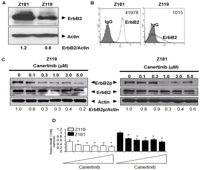 ErbB2 protein expression and activation in Ph + ALL cell lines. (A) Two established human Ph + ALL cell lines, Z181 and Z119, were lysed and then subjected to SDS-PAGE followed by Western blotting for ErbB2 and actin. Blots are representative of at least three independent experiments. Densitometry was performed using ImageJ (National Institutes of Health). (B) Cell lines were stained with murine PE-conjugated anti-human ErbB2 monoclonal antibody and assessed by flow cytometry; isotype control staining (grey) and anti-ErbB2 staining (white). Cell surface quantification was performed as described in Materials and Methods. Numbers indicate the average number of molecules of ErbB2 per cell. (C) Protein lysates were collected from cells treated with the indicated doses of canertinib for 18 hours. Samples were subjected to SDS-PAGE followed by Western blotting for ErbB2 Y1248p (ErbB2p), total ErbB2 (ErbB2), or actin. Blots are representative of at least three experiments. Densitometry was performed using ImageJ software and normalized to actin. (D) RPPA analyses were performed utilizing ErbB2p antibody. Bars represent the means of three individual experiments. Triangles indicate drug concentrations of 0–5 µM. *p
