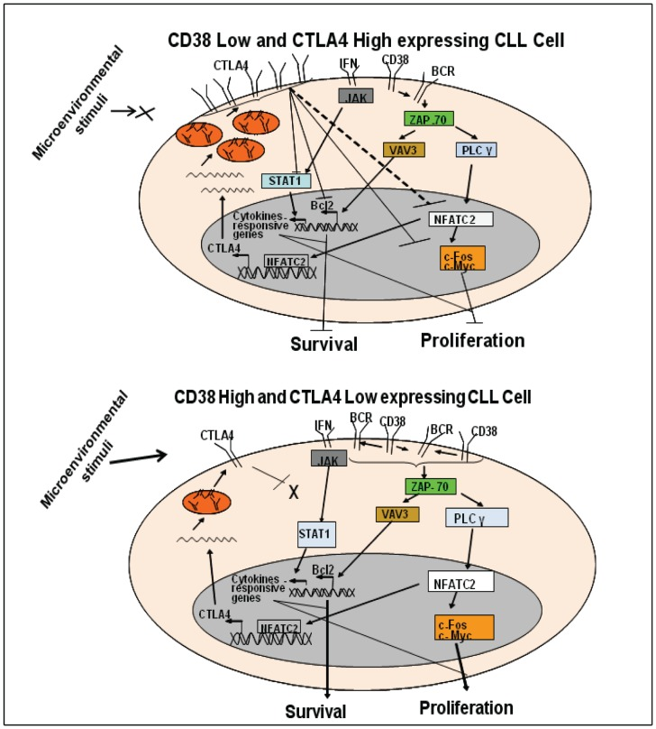 Hypothetical model for the role of CTLA4 in CLL cell proliferation/survival. Panel A: When CLL cells express low CD38, but high CTLA4, CTLA4 inhibits the CD38/BCR signaling pathway at multiple levels. CTLA4 downregulates NFATC2 and proliferation-associated molecules such as c-Fos and c-Myc. Downregulation of NFATC2 may also be associated with an autoregulatory loop for CTLA4, which would downregulate CTLA4 transcription. CTLA4 also downregulates the expression of Bcl-2, thus decreasing the survival of CLL cells. CTLA4 inhibits the expression of STAT1, thus deregulating the JAK/STAT pathway and inhibiting CLL cell growth. Panel B: When CLL cells express high CD38, but low CTLA4, activated CD38/BCR signaling upregulates downstream molecules in the pathway, such as NFATC2, c-Fos, and Bcl-2. These molecules will increase proliferation and survival of CLL cells. Low expression of CTLA4 does not interfere with the expression of STAT1, which favors CLL cell growth.