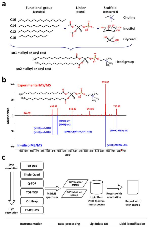 Creation, validation and application of in-silico generated tandem mass spectra in LipidBlast (a) New lipid compound structures were created using combinatorial chemistry approaches. A scaffold of the lipid core structure and linker are connected to fatty acyls with different chain lengths and different degrees of unsaturation. (b) The reference tandem spectra (upper panel) are used to simulate the mass spectral fragmentations and ion abundances of the in-silico spectra (lower panel). The compound shown here is phosphatidylcholine PC(16:0/16:1) at precursor m/z =732.55 [M+H] + . (c) T andem mass spectra are obtained from LC-MS/MS or direct-infusion experiments. The MS/MS spectra are submitted to LipidBlast MS/MS search. An m/z precursor ion filter serves as first powerful filter and a subsequent product ion match creates a library hit score that is related to the level of confidence for the compound annotation.