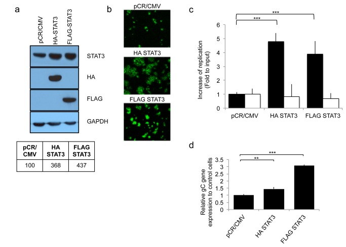 Effect of STAT3 gene expression on oHSV replication in human glioblastoma U251 cells. Control transfected cells (pCR/CMV) were compared to STAT3 over-expressing cells (HA-STAT3 and FLAG-STAT3). a; Western blot analysis of HA-tagged or FLAG-tagged STAT3 in stable transfectants of human U251 glioma cells. Blots of STAT3 and GAPDH were scanned and analyzed by densitometry and are shown in tabular format in the lower part of the panel. The ratios were normalized to pCR/CMV control. b; GFP reporter signal from oHSV (rQNestin34.5) was detected 1 day after oHSV infection (MOI 0.05) of U251 cell lines stably transfected with STAT3. c; In vitro viral replication plaque assay. Cells were infected (MOI 0.05) with oHSV (rQNestin34.5) or wild type HSV-1 (F strain) and yields of progeny virus were determined on Vero cells. Black bars represent oHSV. White bars rpresent F strain. Each data point represents the mean of biological triplicates. Error bars indicate standard deviation. *** P
