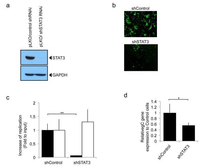 oHSV replication in human glioblastoma U251 cells, stably expressing control shRNA (pLKO/control shRNAi) or STAT3 knock down (pLKO/shSTAT3 RNAi). a; Western blot analysis of STAT3 in the stably transfected control shRNAi or shSTAT3 RNAi. b; GFP reporter signal from oHSV (rQNestin34.5) was detected 1 day after virus infection (MOI 0.05) of U251 cell lines stably knocked down for STAT3 gene expression. c; In vitro viral replication plaque assay. Cells were infected (MOI 0.05) with oHSV (rQNestin34.5) or wild type HSV-1 (F strain) and yields of progeny virus were determined on Vero cells. Black bars represent oHSV. White bars represent F strain. Each data point represents the mean of biological triplicates. Error bars indicate standard deviation. ** P
