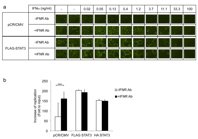 Effect of exogenous IFNalpha with and without IFNalphaR antibody on oHSV replication in cells over-expressing STAT3 compared to control. A : Cells were incubated with the indicated concentration of INFalpha in the presence or absence of anti-IFNalpha/beta receptor antibody (IFNR Ab) for 24h, and then infected with oHSV (MOI 0.05). Two days later, GFP expression from oHSV infected cells was visualized. B : In vitro viral replication assay. U251 transfected cells were treated with (black) or without (white) anti-IFNalpha/betaR (IFNR Ab) antibody for 24 hours. Three days later yields of progeny virus were assayed on Vero cells. Each data point represents the mean of triplicate samples. Error bars indicate standard deviation. *** P