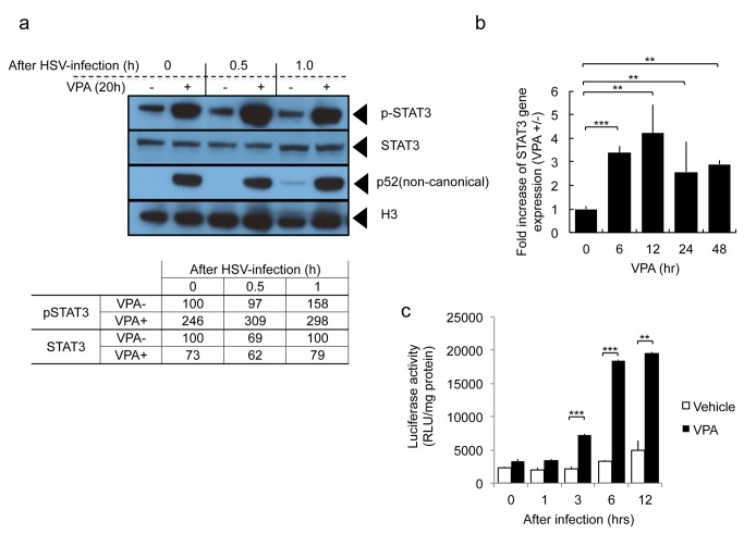 Effect of VPA on STAT3 expression in glioma cells in the presence or absence of oHSV infection. A : Expression of nuclear phosho-STAT3 (p-STAT3), total cellular STAT3, activated NF-kappaB (p52), and Histone H3. Twenty hours after incubation with or without 3 mM VPA, U251 cells were infected with oHSV (MOI 1.0). At the indicated times following infection, total cellular or nuclear fractions were collected and analyzed by Western blot. The 0, 0.5 and 1.0 hour (hr) times indicates time after oHSV infection. Before infection, cells were incubated with VPA or vehicle for 20 hours. The results of blot densitometry are also provided in tabular format in the lower part of the panel. B : Gene expression level of STAT3 was detected using quantitative RT-PCR at the indicated time points following VPA treatment (3 mM) of U251 cells. Each data point represents the mean of triplicate samples. Error bars indicate standard deviation. ** P