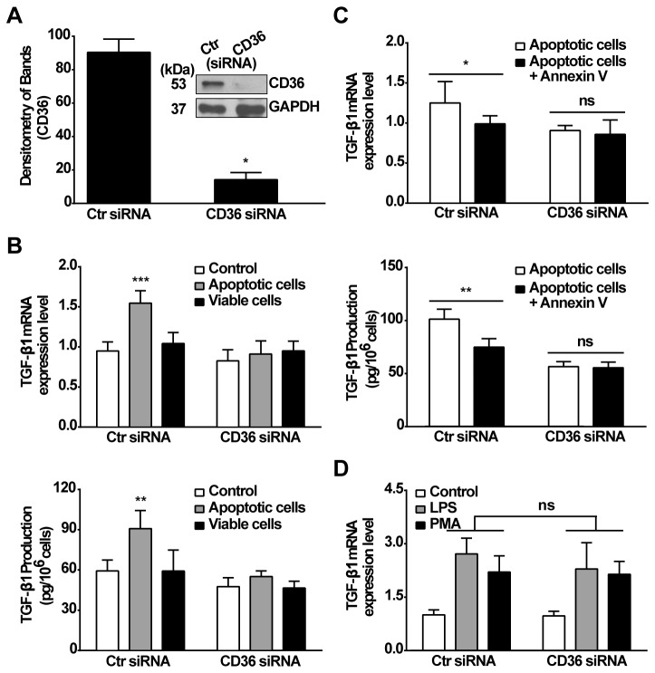 Receptor CD36 is required for apoptotic cells induced TGF-β1 mRNA and protein expression. A, CD36 protein expression in RAWTβRII cells transfected with CD36-target siRNA or control siRNA (Ctr siRNA) for 24 h was analyzed by Western blotting with anti-CD36 (MF3) antibody, and band density was normalized to GAPDH. B, RAWTβRII cells transfected with CD36-target siRNA or control vehicle (Ctr siRNA) for 24 h were stimulated with apoptotic or viable Jurkat cells. C, Apoptotic Jurkat cells were pretreated with annexin V for 45 min and incubated with RAWTβRII transfected with CD36-target siRNA or control siRNA (Ctr siRNA). TGF-β1 mRNA expression or secreted TGF-β1 protein was analyzed as in Figure 1. D, RAWTβRII cells transfected with CD36-target siRNA or control siRNA (Ctr siRNA) were treated with either LPS (25 ng/ml) or PMA (50 nM). The expression of TGF-β1 mRNA was analyzed as above. Values represent means ± SD of five separate experiments. ns, no significant; *, P