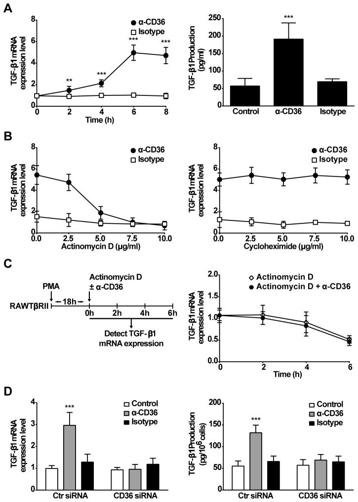 Stimulation with activating anti-CD36 mIgA induces TGF-β1 synthesis. A, RAWTβRII cells were cultured with activating anti-CD36 (JC63.1) mIgA or isotype control (2 µg/ml) for the times indicated. TGF-β1 mRNA expression or secreted TGF-β1 protein was analyzed as in Figure 1. B, RAWTβRII cells were pre-treated with the indicated concentrations of actinomycin D or cycloheximide for 1 h, before stimulation for 6 h and TGF-β1 mRNA expression was analyzed as above. C, RAWTβRII cells were cultured in the presence of PMA (50 nM) for 18 h to increase the steady state TGF-β1 mRNA level, and then the cells were incubated with actinomycin D (10 µg/ml) in the presence or absence of anti-CD36 mIgA (2 µg/ml) for the times indicated. D, RAWTβRII cells transfected with CD36-target siRNA or control siRNA (Ctr siRNA) for 24 h were incubated with anti-CD36 mIgA (2 µg/ml) or isotype control (2 µg/ml) for 6 h or 18 h to analyze TGF-β1 mRNA expression or secreted total TGF-β1 protein respectively, as in Figure 1. Values represent means ± SD of five separate experiments. **, P