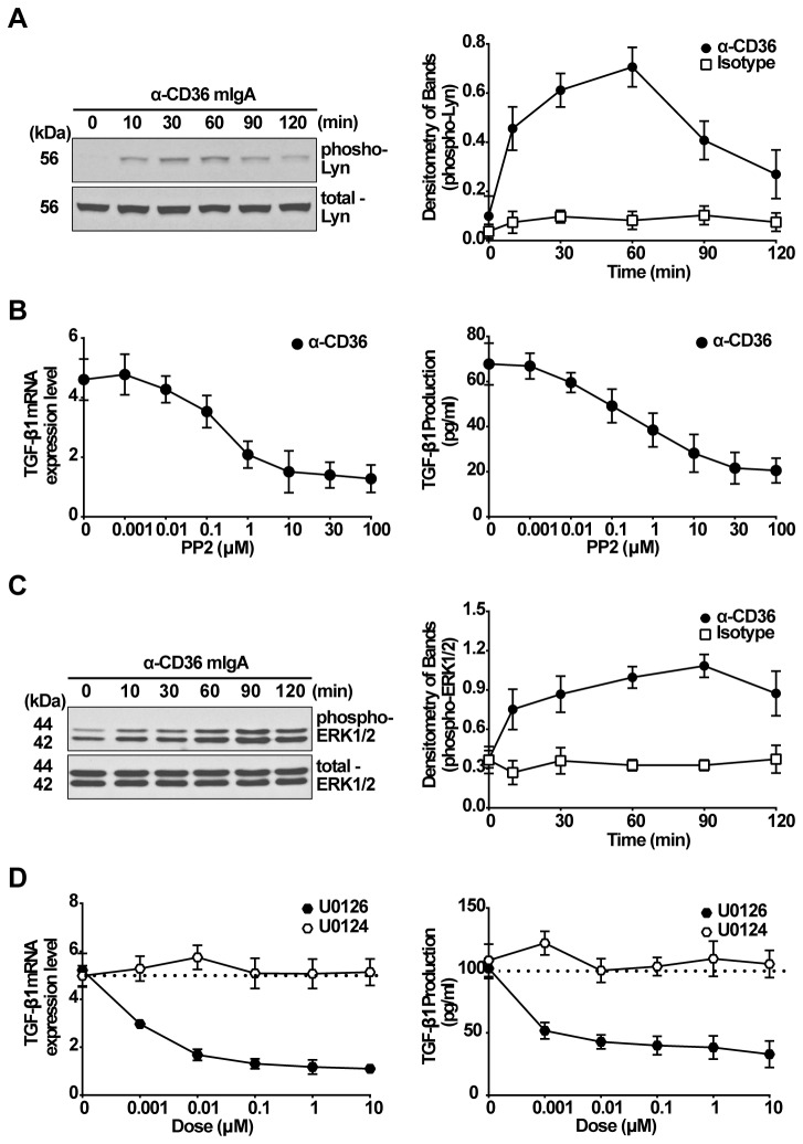 Both Lyn kinase and ERK1/2 MAPK are required for TGF-β1 synthesis induced by activating anti-CD36 mIgA. A, RAWTβRII cells were stimulated with activating anti-CD36 mIgA (2 µg/ml) for the times indicated. Total cell lysates were immunoblotted for phospho-Lyn kinase and the band density was normalized to total Lyn kinase. B, RAWTβRII cells were pretreated with the src-family kinase inhibitor PP2 (0.001 to 100 µM) for 2 h and then stimulated with anti-CD36 mIgA (2 µg/ml). After 6 h, TGF-β1 mRNA expression was analyzed by real-time PCR and normalized to GAPDH. Total TGF-β1 in the conditioned medium was analyzed by ELISA after 18 h. C, A time course of ERK1/2 phosphorylation was assessed by Western blotting in RAWTβRII cells treated with anti-CD36 mIgA (2 µg/ml). Phospho-ERK1/2 band density was normalized to total ERK1/2. D, RAWTβRII cells were preincubated with MEK kinase inhibitor U0126 or inactive analogue U0124 for 2 h and then stimulated with anti-CD36 mIgA for 6 h to detect TGF-β1 mRNA expression or for 18 h to detect secreted TGF-β1 protein as in Figure 1. Values represent means ± SD of six separate experiments.