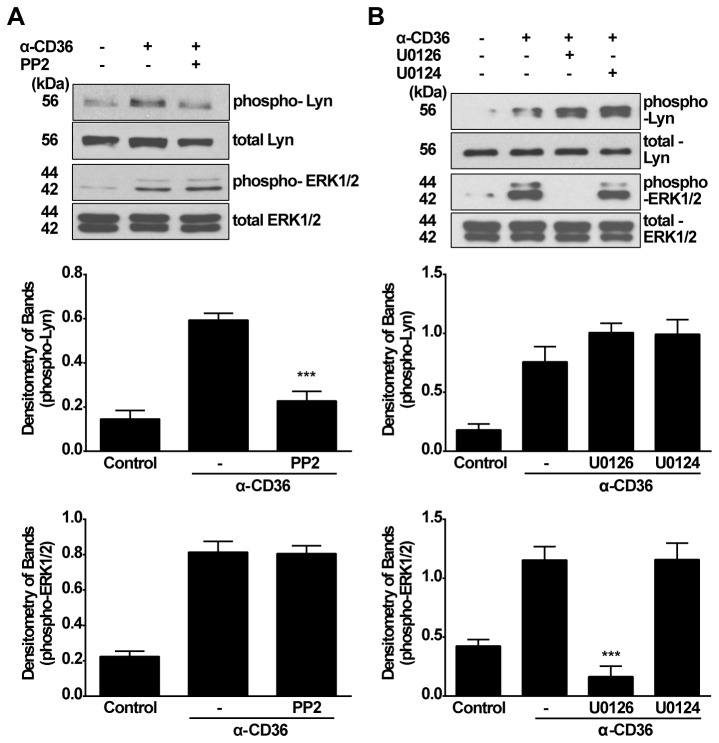 Lyn kinase and ERK1/2 MAPK act by separate pathways for activating anti-CD36 mIgA-induced TGF-β1 synthesis. A, RAWTβRII cells were pretreated with inhibitor PP2 (30 µM) for 2 h prior to stimulation with anti-CD36 mIgA (2 µg/ml) for 60 min. Phosphorylation of Lyn and ERK1/2 were analyzed by Western blotting using total cell lysates. B, RAWTβRII cells were pretreated with inhibitor U0126 or analogue U0124 (1.0 µM) for 2 h and then incubated with anti-CD36 mIgA (2 µg/ml) for 90 min. Total cell lysates were used to analyze phosphorylation of Lyn and ERK1/2. Relative values for phosphorylated kinase versus total kinase were determined by densitometry and expressed as means ± SD of five separate experiments. *** P